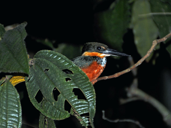 Green-and-rufous Kingfisher (Chloroceryle inda) S.jpg