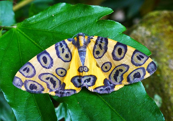 Butterfly yellow blue Coroico S.jpg