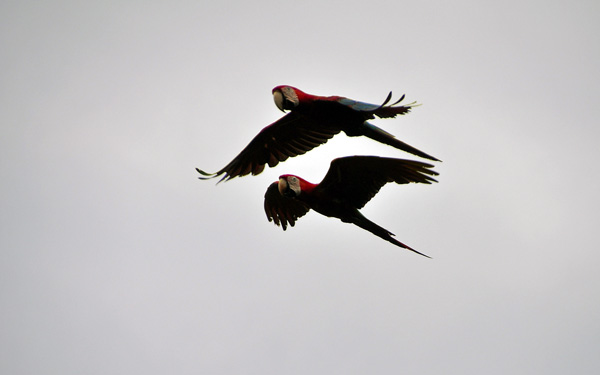 Macaw flight Close S.jpg