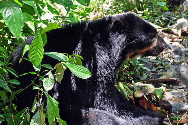 Spectacled bear Tremarctos ornatus S.jpg
