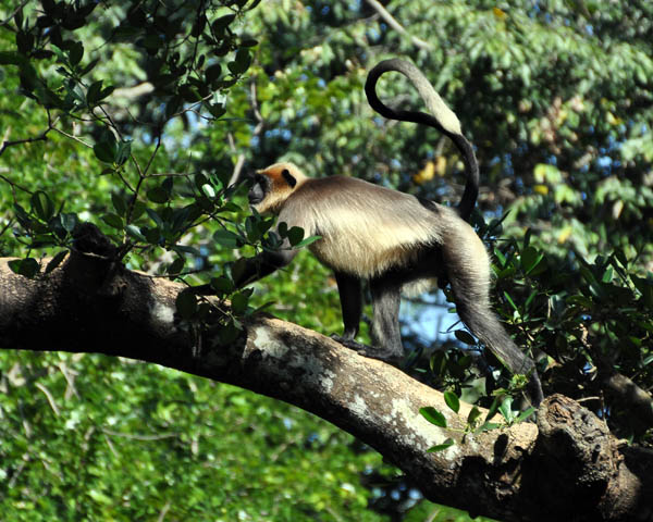 Nilgiri Langur Trachypithecus johnii Walking Cr S.jpg