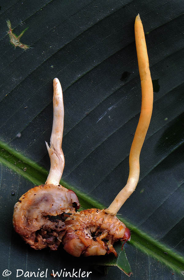 Ophiocordyceps_melolonthae sliced