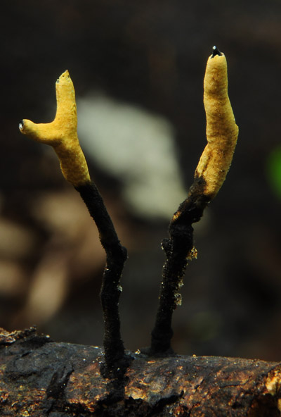 Xylaria comosa group