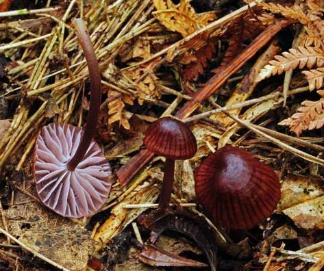 Mycena holoporphyra Colombia
