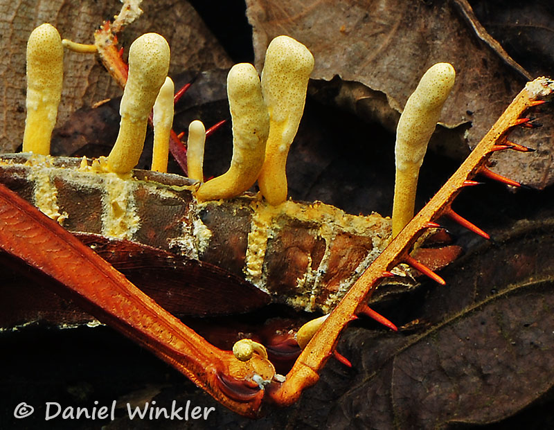 Cordyceps locustiphila