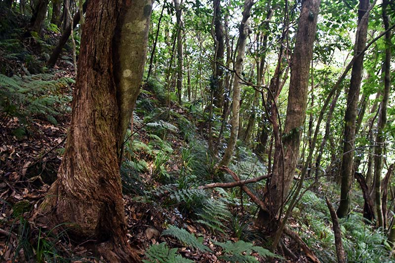 Lithocarpus_sieboldii forest Hachijo Jima