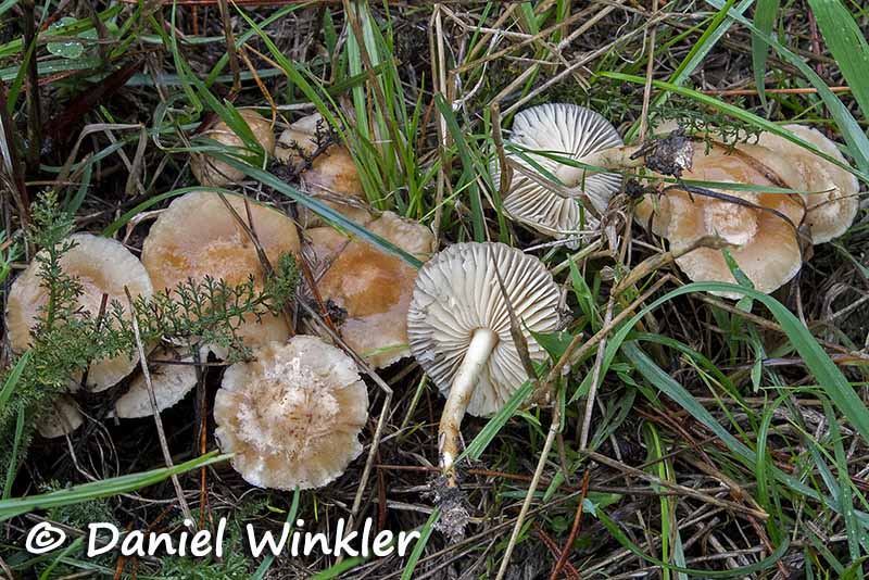 Marasmius oreades New Zealand