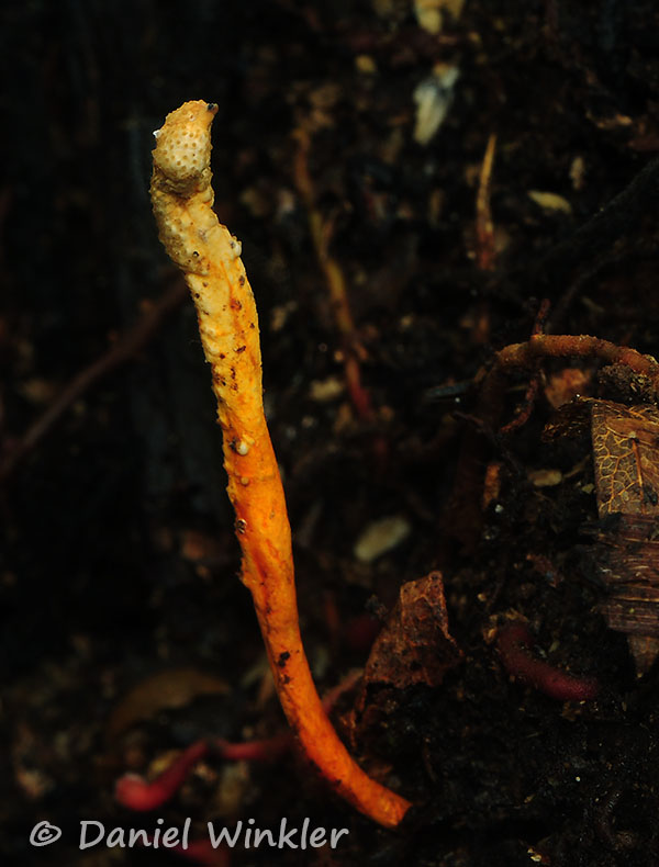Metacordyceps martialis