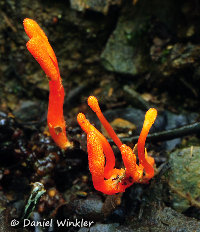Ophiocordyceps caloceroides