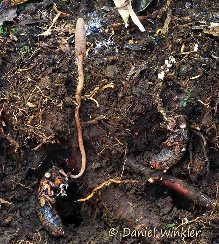 Ophiocordyceps yakushimensis Hachijo Jima