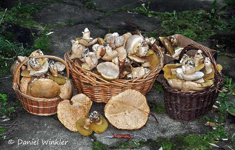 Boletus barrowsii baskets