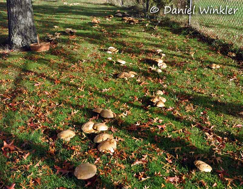 Boletus barrowsii patch