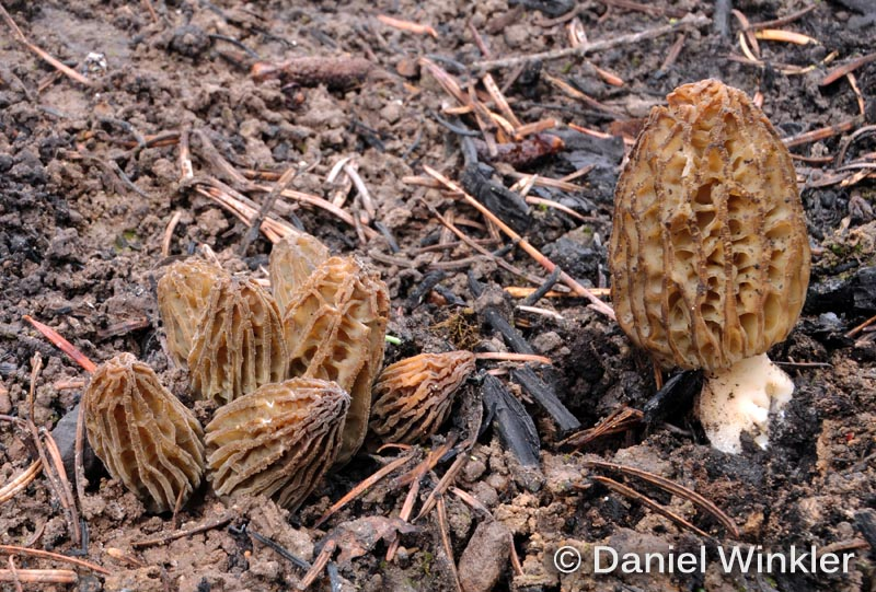 morchella sp. fire morel